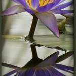 lotus-f