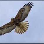galapagos-hawk-6943